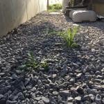 雑草の引き抜き
